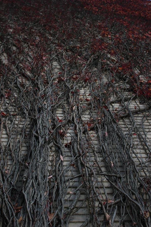 виноградина одичалая стоковая фотография