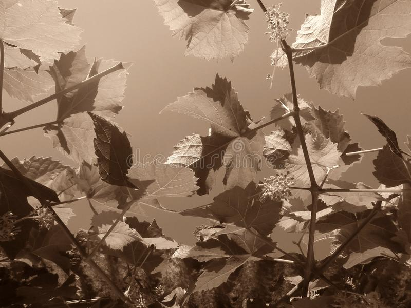 виноградина рамки предпосылки искусства выходит бумажная акварель текстуры стоковые фото