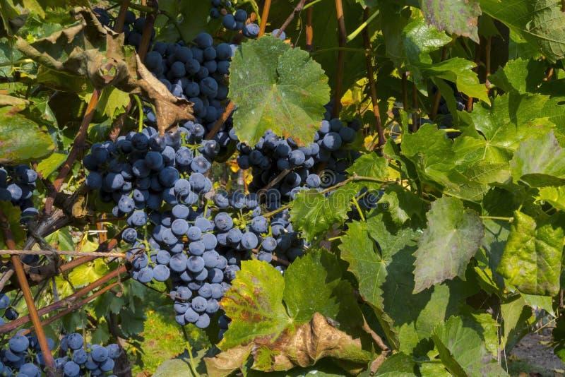 Виноградина Othello стоковые изображения