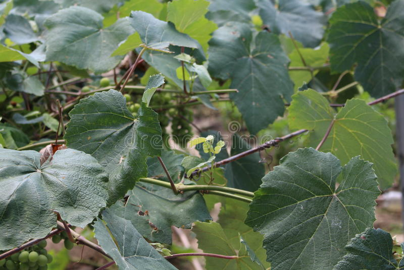 Виноградины Тheir неполовозрелые стоковое фото