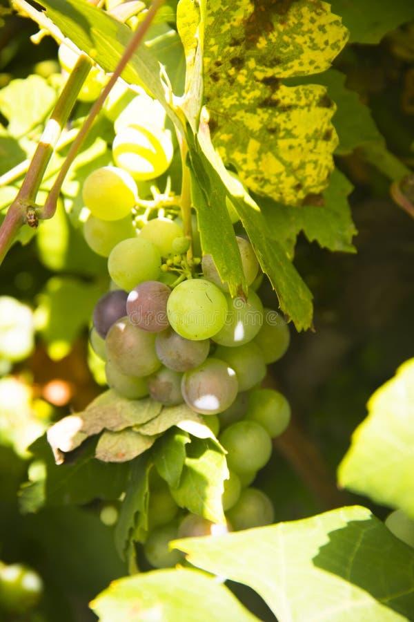 Виноградины белого вина вися от лозы стоковое фото rf