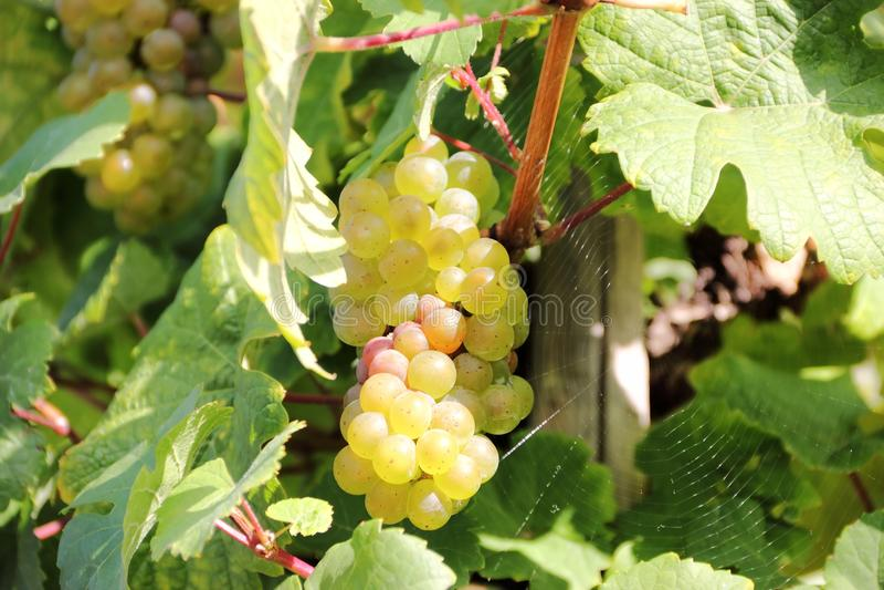Виноградины белого вина вдоль реки Мозель (Mosel) стоковое фото rf