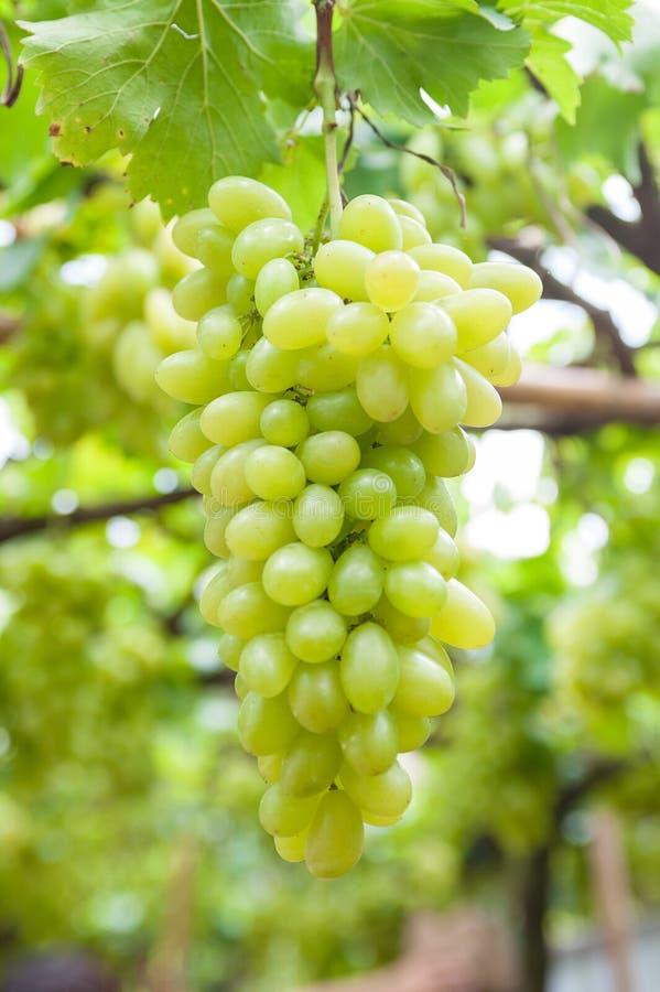 виноградины белые стоковое изображение rf