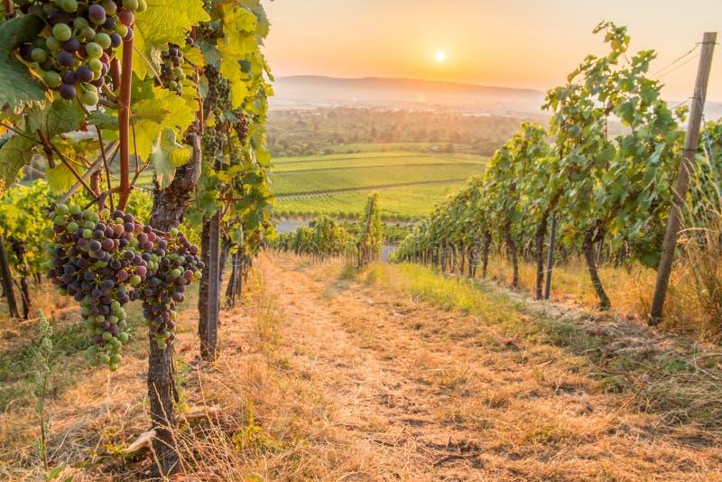 Виноградины вина в винограднике в восходе солнца стоковая фотография rf