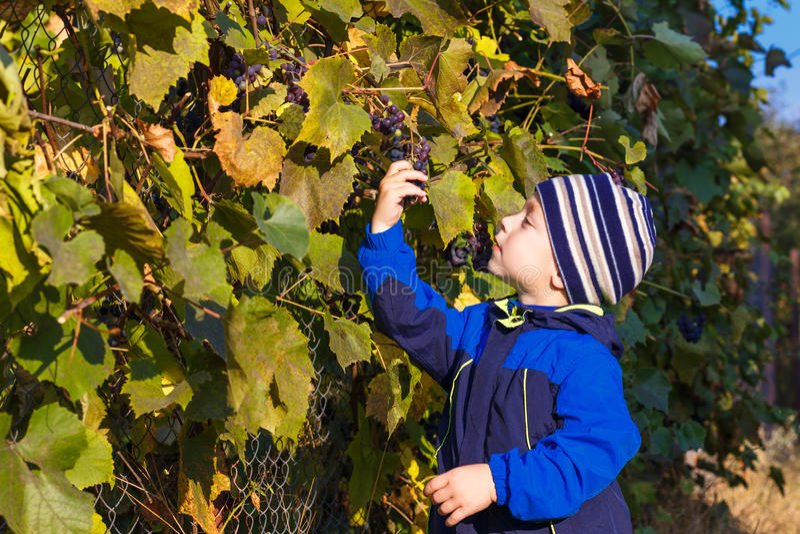 Виноградины выбранные мальчиком стоковое изображение