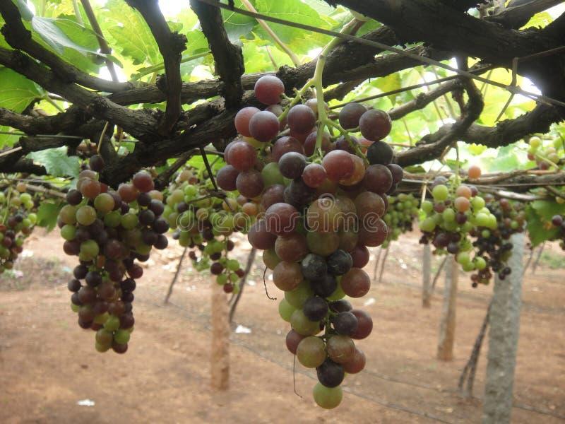 Виноградины в плантации стоковая фотография rf
