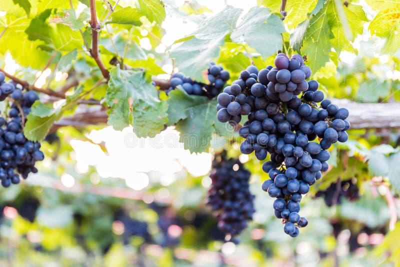 Виноградины в ферме стоковая фотография rf