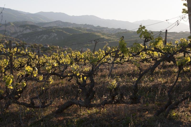 Виноградины в ярде вина стоковое фото