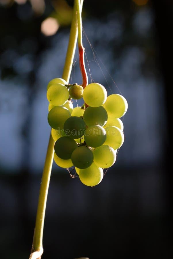 Виноградины греясь в солнце стоковая фотография
