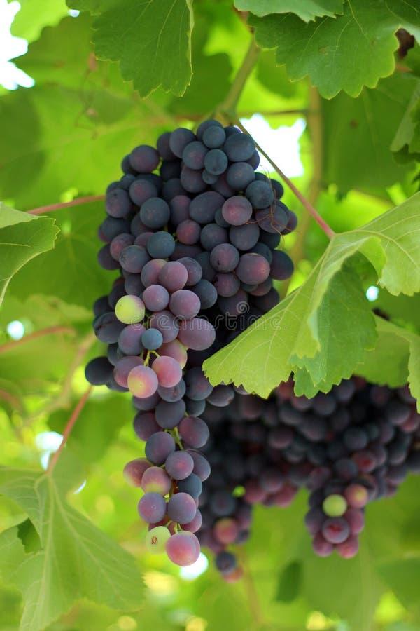 Виноградины на лозе стоковое изображение