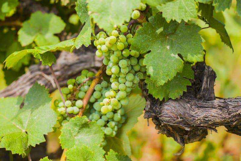 Виноградины лозы стоковые фотографии rf