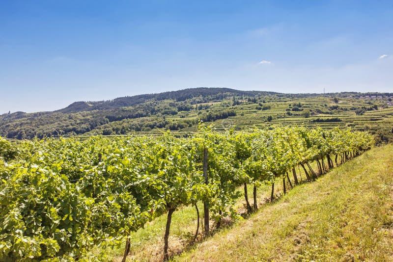 Виноградники благоустраивают в Wachau стоковое изображение