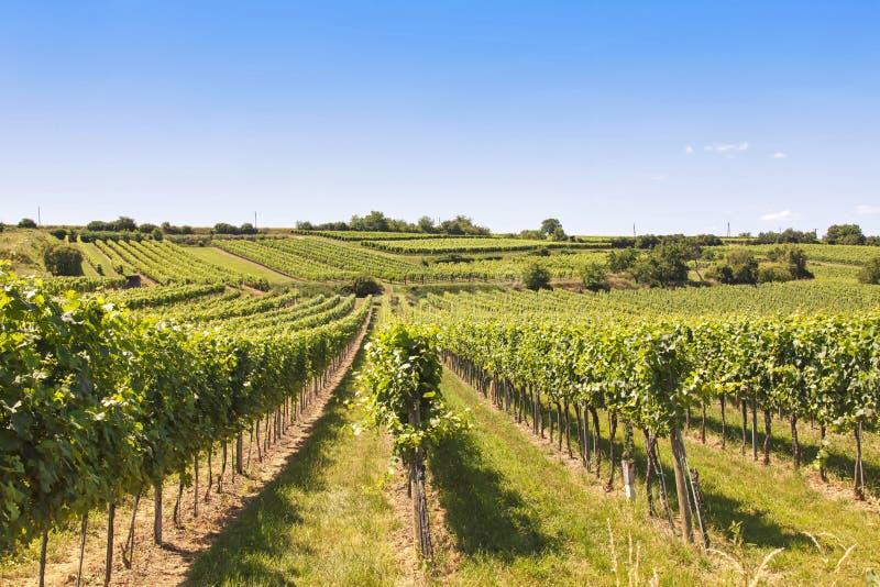 Виноградники благоустраивают в Wachau стоковое изображение rf