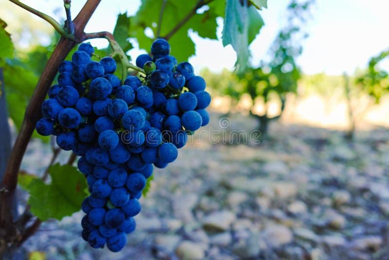 Виноградники в замке, Chateauneuf-du-Pape, Франции стоковые изображения rf