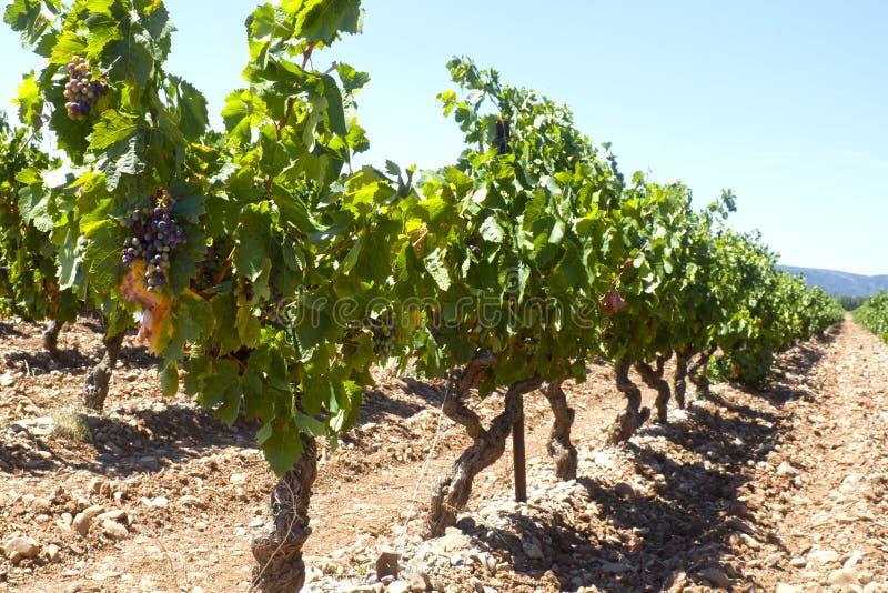 Виноградники в очереди с виноградинами в августе стоковое изображение rf
