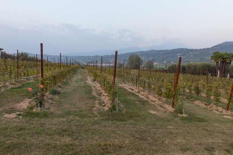 Виноградники в bardolino стоковые фото