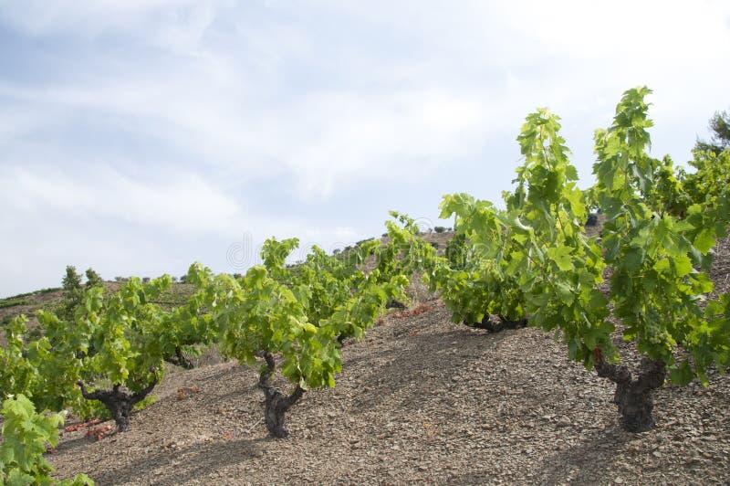 виноградники Германии зеленые стоковые фотографии rf