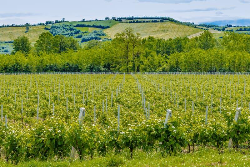 виноградники Германии зеленые стоковое фото