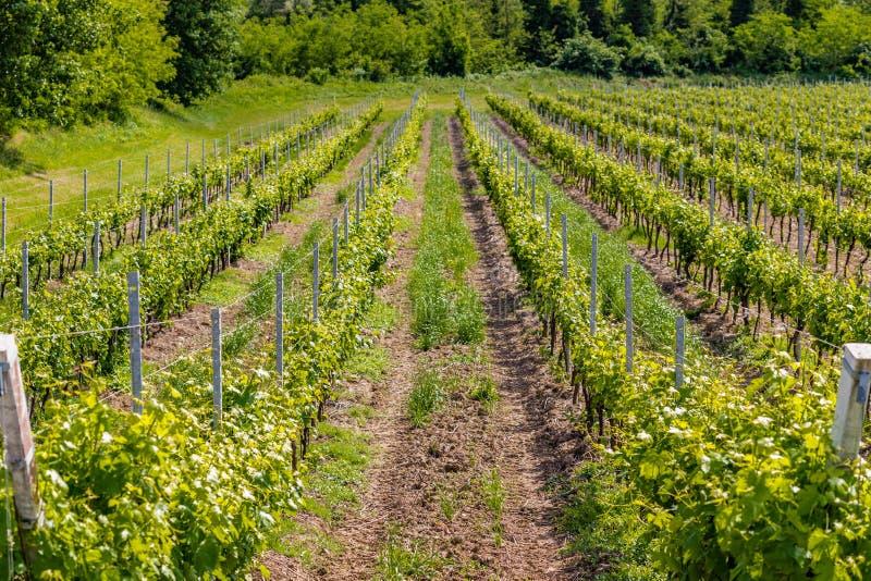 виноградники Германии зеленые стоковые фото