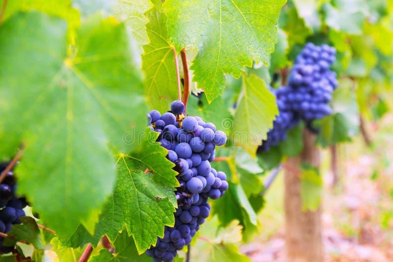 Виноградники засаживают в августовском дне стоковое фото rf
