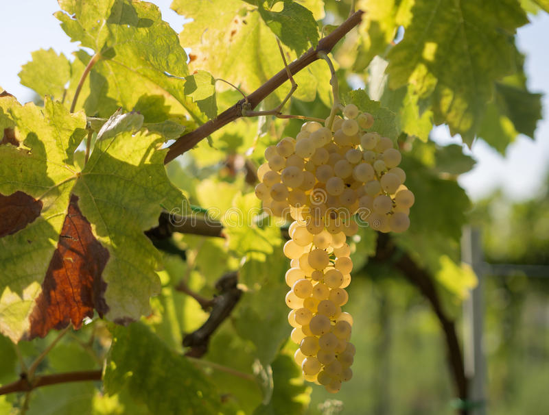 Виноградники на заходе солнца в сборе осени стоковая фотография rf