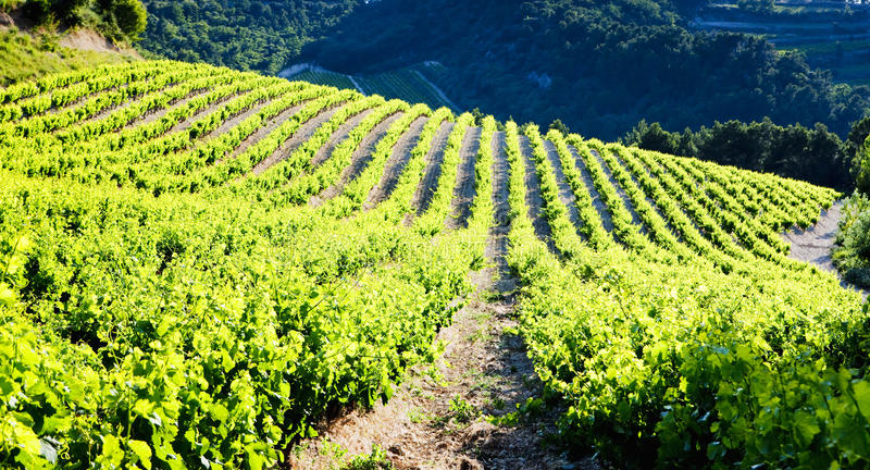 Виноградники, Провансаль стоковая фотография rf
