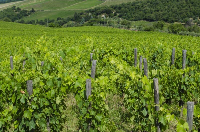 Виноградники Chianti тосканские в июле стоковое изображение