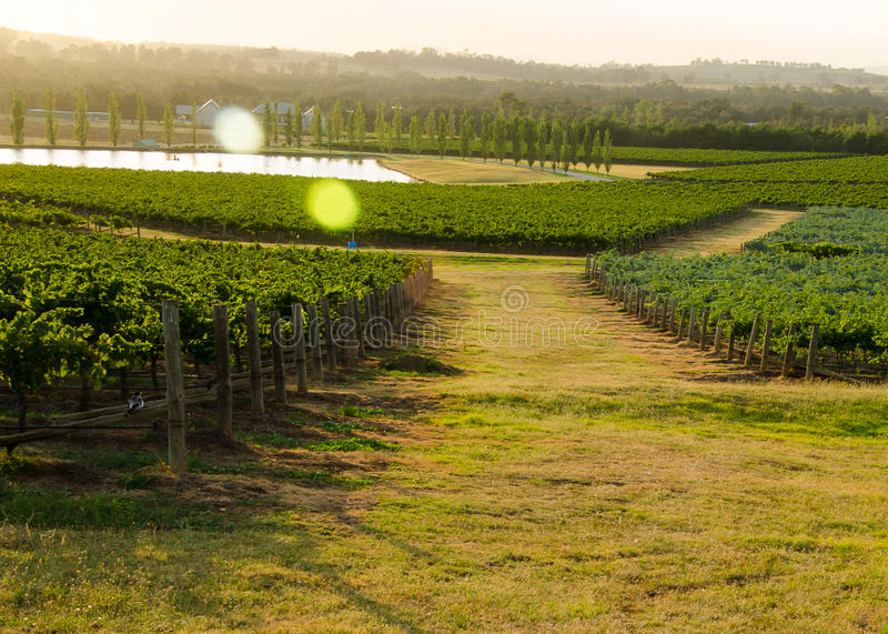 Виноградники Hunter Valley стоковое фото