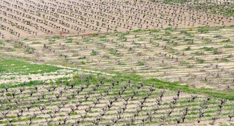 Виноградники, Paphos, Кипр стоковое фото