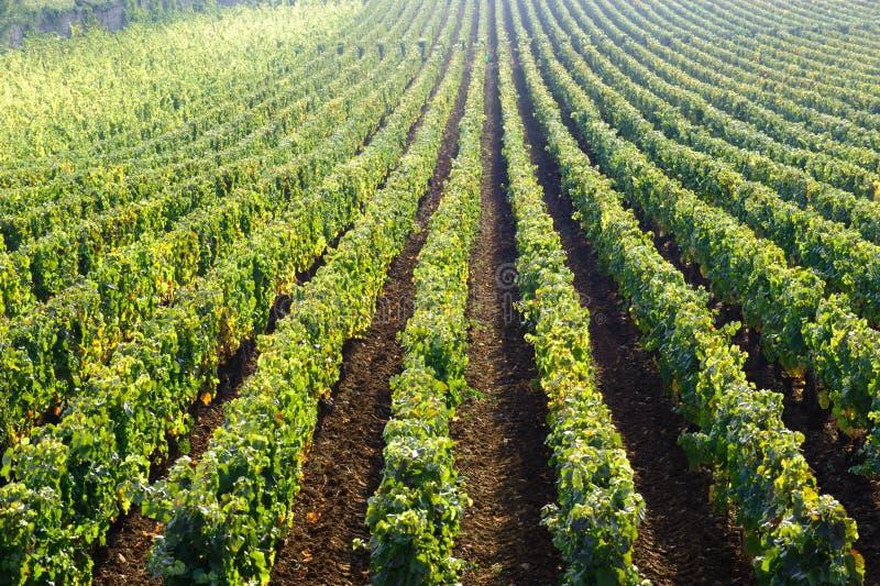 Виноградник Бон Cote de Beaune бургундская Франция Pinot noir стоковое изображение