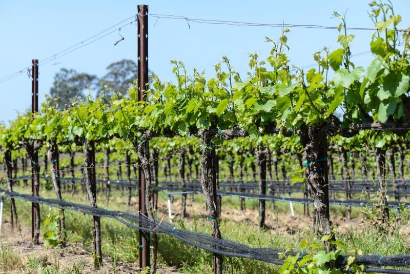 Виноградник весной стоковые фото