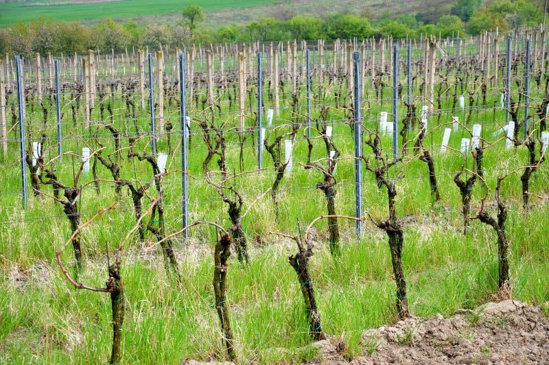 Виноградник весной стоковое фото rf