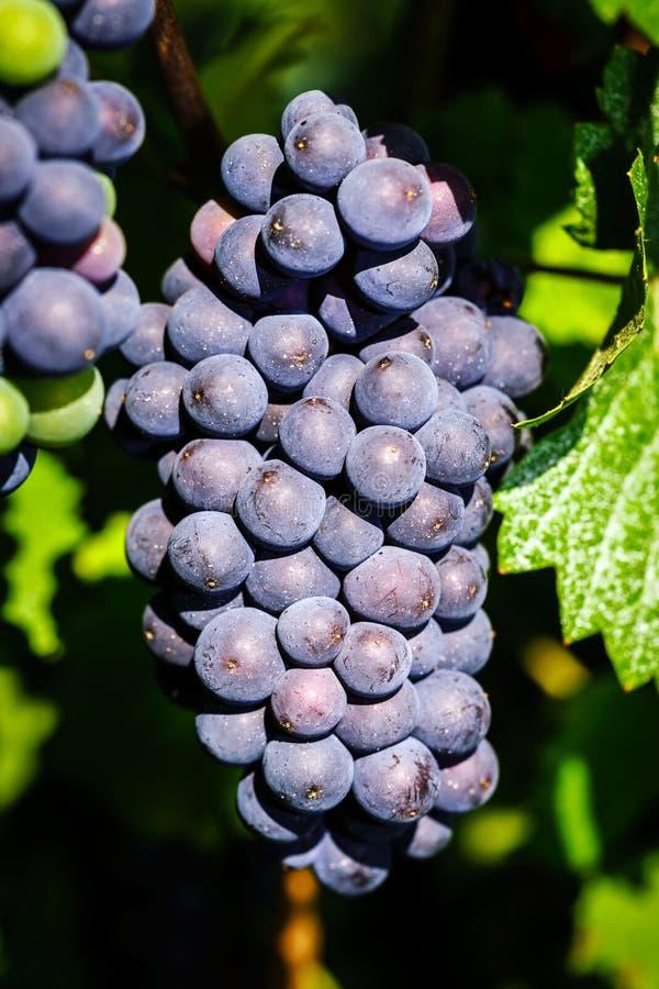 Виноградник виноградин вина на заходе солнца, осени в Франции стоковые фото
