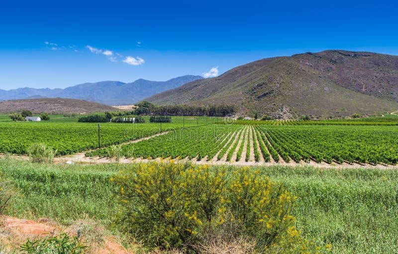Виноградник виноградных лоз близко к Montague, западной накидки на юге стоковые фотографии rf