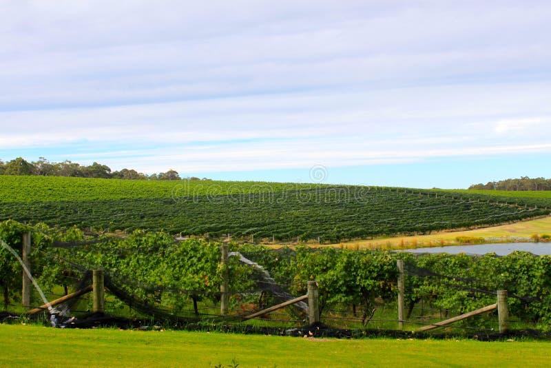 Виноградник в реке Маргарета, Австралии стоковая фотография