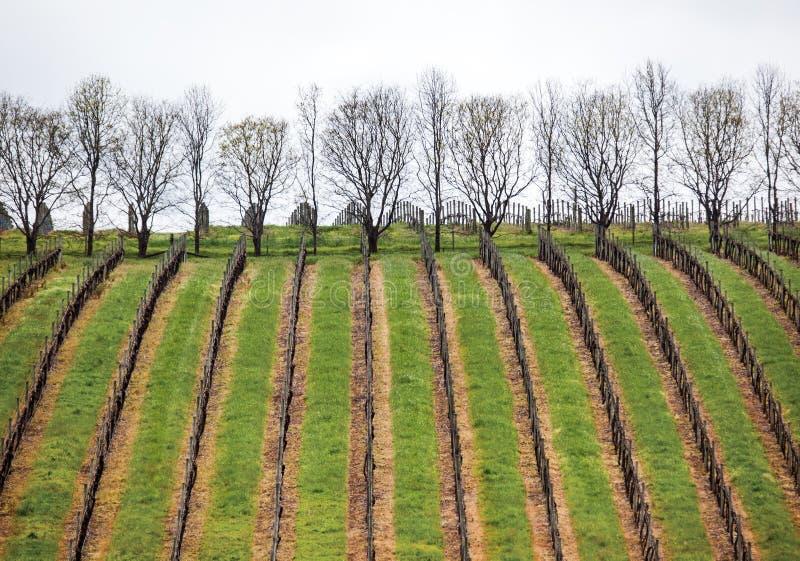 Виноградник в реке Маргарета стоковые изображения rf