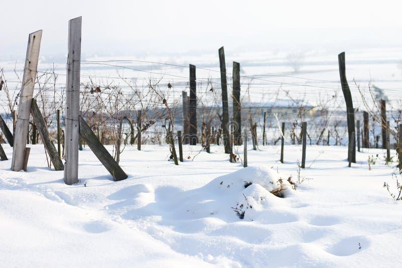 Виноградник в снеге стоковая фотография rf