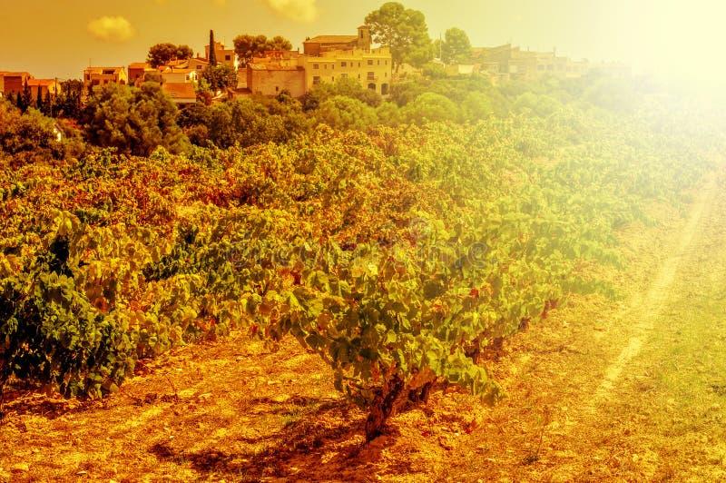 Виноградник в среднеземноморской стране осветил светом вечера стоковые фотографии rf