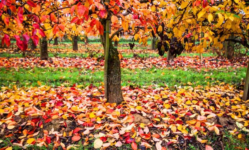 Виноградник в цвете осени стоковое изображение rf