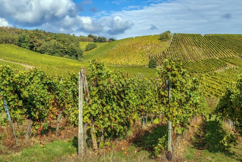 Виноградник в Эльзас, Франции стоковое фото rf