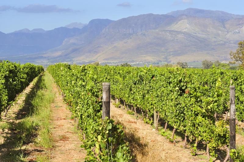 Виноградник в южно-африканской западной накидке стоковое фото rf