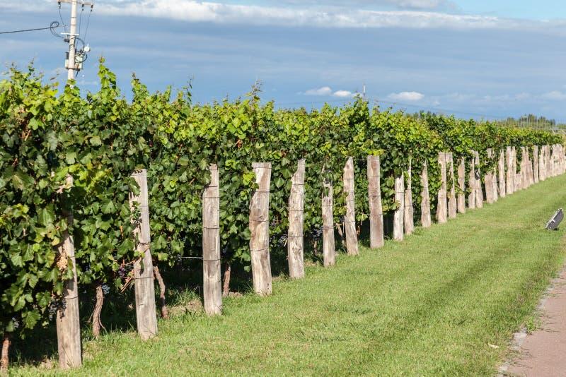 Виноградник в Mendoza Аргентине стоковые изображения rf