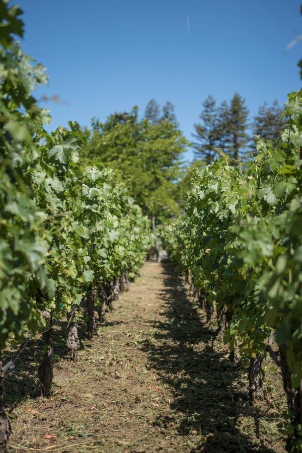 Виноградник в Napa Valley Калифорнии стоковые изображения