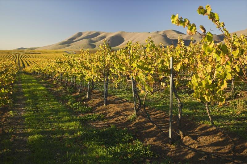 Виноградник в Santa Maria Калифорнии стоковые изображения