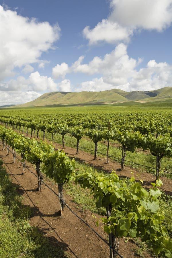 Виноградник в Santa Maria Калифорнии стоковые фотографии rf