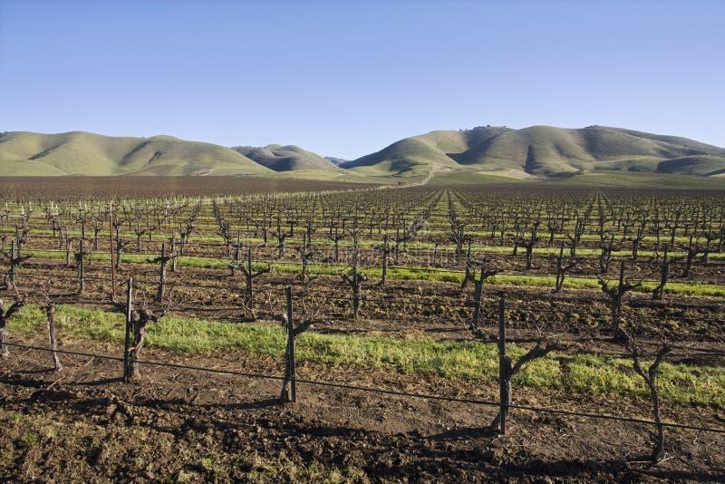 Виноградник в Santa Maria Калифорнии стоковое изображение rf
