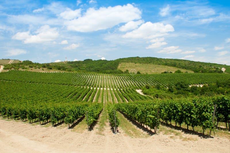 Виноградник лета стоковое изображение rf