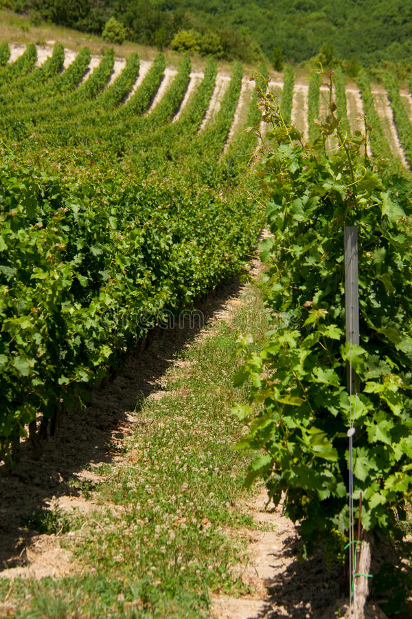 Виноградник лета стоковая фотография rf