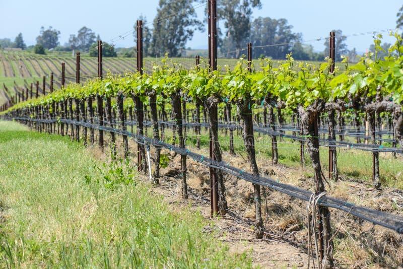 Виноградник Калифорнии весной стоковое фото