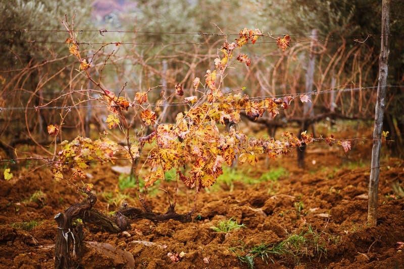 Виноградник на заходе солнца стоковое изображение